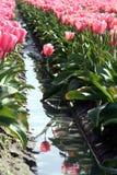 Riflessione del tulipano Fotografie Stock Libere da Diritti