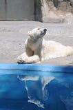 Riflessione dell'acqua dell'orso polare immagini stock