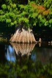 Riflessione dell'albero di Cypress Fotografie Stock