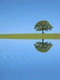 Riflessione dell'albero di quercia Fotografia Stock Libera da Diritti