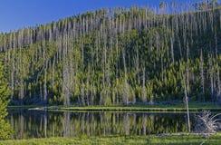 Riflessione dell'albero in un lago in Yellowstone fotografia stock libera da diritti
