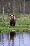 Riflessione dell'orso di Brown Immagini Stock