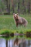 Riflessione dell'orso marrone Fotografia Stock Libera da Diritti
