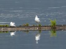 Riflessione della colata dei gabbiani in acqua Fotografia Stock Libera da Diritti