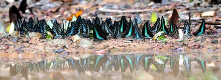 Riflessione della farfalla Fotografia Stock