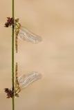 Riflessione della libellula Fotografia Stock