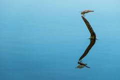 Riflessione della libellula Immagine Stock Libera da Diritti