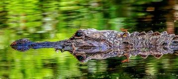 Riflessione della libellula e dell'alligatore Fotografie Stock