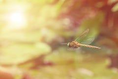 Riflessione della libellula nel giardino di zen Fotografia Stock