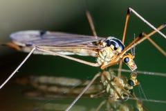 Riflessione della mosca di gru Immagine Stock