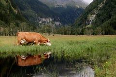 Riflessione della mucca Fotografia Stock