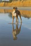 Riflessione della spiaggia del cane del pugile Immagine Stock