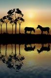 Riflessione della zebra Fotografie Stock Libere da Diritti