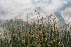 Riflessione delle canne in acqua Fotografie Stock Libere da Diritti