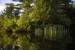 Riflessione delle canne soleggiate e degli alberi Immagini Stock Libere da Diritti