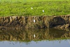 Riflessione delle cicogne in acqua Fotografia Stock