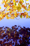 Riflessione delle foglie di acero in acqua Fotografia Stock Libera da Diritti