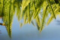 Riflessione delle fronde della felce nell'acqua Fotografia Stock