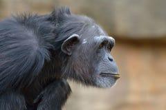 Riflessione dello scimpanzè Immagine Stock