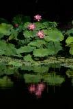 Riflessione di loto Fotografia Stock