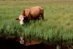 Riflessione di sguardo della mucca Immagine Stock