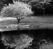 Riflessione di un albero Immagini Stock Libere da Diritti