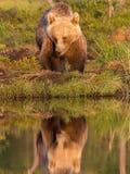 Riflessione europea dell'orso bruno Immagini Stock Libere da Diritti