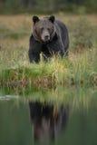 Riflessione europea dell'orso bruno Fotografie Stock