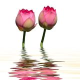 Riflessione gemellare dell'acqua del loto Immagine Stock Libera da Diritti
