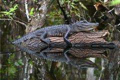 Riflessione giovanile dell'alligatore in terreni paludosi Immagini Stock Libere da Diritti