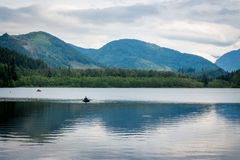 Riflessione nel lago Canada dei cervi Immagine Stock