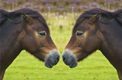 Riflessione selvaggia del cavallino, radiatore anteriore da cappottare Fotografia Stock Libera da Diritti