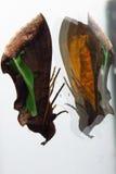 Riflessione strana del lepidottero Immagine Stock