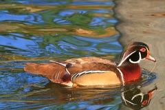 Riflessioni Colourful dell'acqua e dell'anatra Fotografia Stock