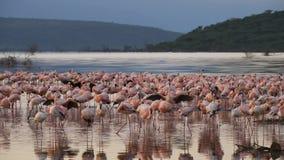 Riflessioni del fenicottero di primo mattino in bogoria del lago, Kenia archivi video