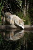 Riflessioni del lupo grigio fotografia stock libera da diritti