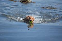 Riflessioni dell'acqua di Duck Tolling Retriever con una palla Fotografie Stock Libere da Diritti