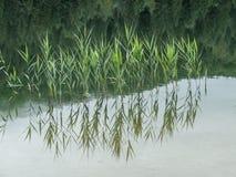 Riflessioni della canna dell'acqua in un lago immagine stock libera da diritti