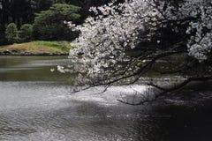 Riflessioni di Cherry Blossoms al giardino nazionale Tokyo di Shinjuku Gyoen Fotografia Stock Libera da Diritti