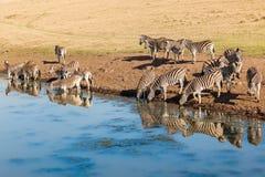 Riflessioni di specchio dell'acqua della fauna selvatica delle zebre Fotografia Stock