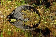 Riflessioni di un esporre al sole dell'alligatore Fotografie Stock Libere da Diritti