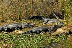 Riflessioni di un esporre al sole dell'alligatore Immagini Stock Libere da Diritti