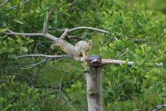 Riflettere scoiattolo Immagine Stock