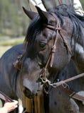 Riflettore Eyeing del cavallo Roan blu Fotografie Stock