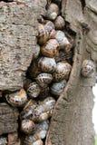 Rifugio comune dell'introito delle lumache Immagini Stock