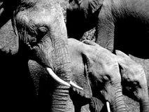 Riga degli elefanti Immagine Stock