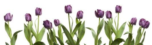 Riga dei tulipani viola Immagini Stock