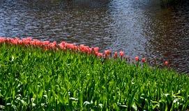 Riga del tulipano Fotografia Stock Libera da Diritti