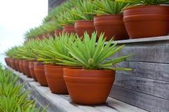 Riga delle piante conservate in vaso della vera dell'aloe Immagini Stock