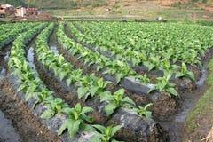 Riga delle piante di tabacco sulla riga Fotografia Stock Libera da Diritti